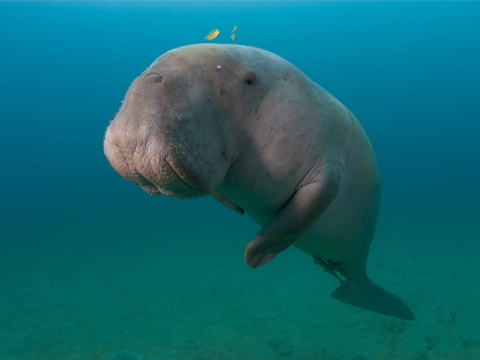 Dugong Database Initiative Indonesia